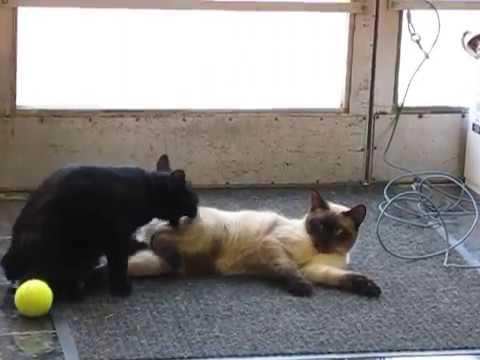 Manx cat brothers wrestling