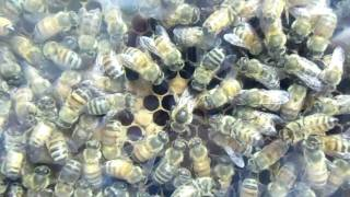 Urban Beekeeping: # 33 Queen Bee Laying Eggs In An Observation Hive!