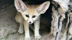 Zoo von Sydney: Wüstenfuchs mit riesigen Ohren