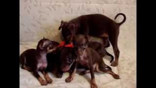 8-905-546-66-92 Купить щенка,той-терьер.Русский той, мини, РКФ.