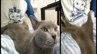 座って本を読んでいたら、なんだかあやしいポーズで甘えに来た灰色猫す...