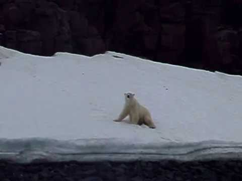 Polar Bear rolling in the snow in Spitsbergen, Arctic Sailing trip on Pilot Cutter 2010