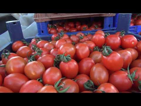 Fethiyeli Çiftçiler 'Hormon' İddialarına Domatesi Yıkamadan Yiyerek Tepki Gösterdi