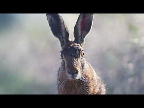 TAVŞAN AVI SEÇME AVLAR 2018. ÇOK NET GÖRÜNTÜLER. RABBİT HUNTİNG. охота на кроликов.صيد الأرانب