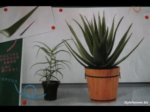 Алоэ (столетник или агава) - описание, применение, рецепты