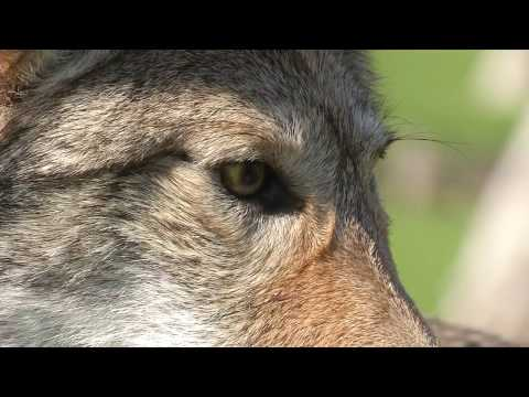 Costa Mesa Coyote Education Video
