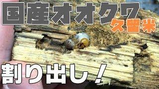 【いざ!】国産オオクワガタの割り出し Dorcus hopei binodulosus 【Part3:久留米産 割り出し編】