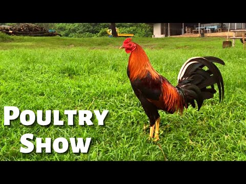 Bloodlines at the World Gamefowl Expo Sabong