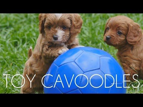 Chevromist Cavoodle Puppies May 2015
