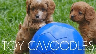 Chevromist Cavoodle Puppies May 2015