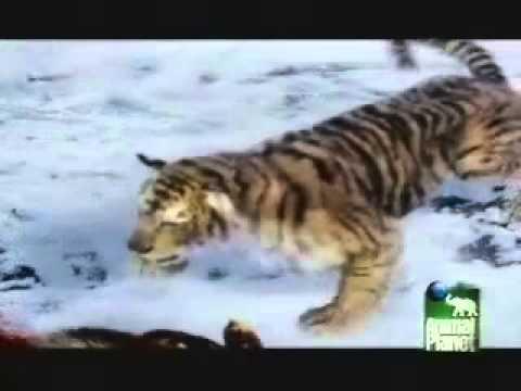Animal Face-Off Bear vs Tiger