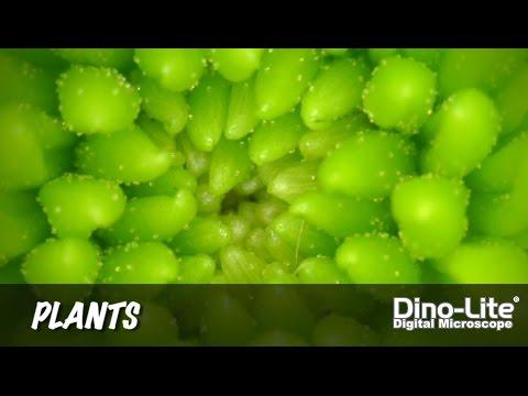 Dino-Lite Applications: Plants
