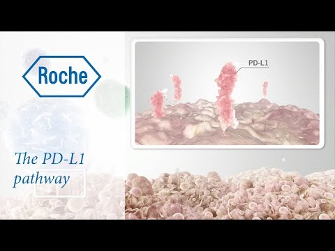 Cancer immunotherapy: the PD-L1 pathway