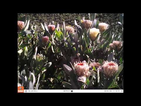 Protea lorifolia timelapse