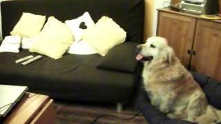 My Rottweiler And Our Jealous Golden Retriever