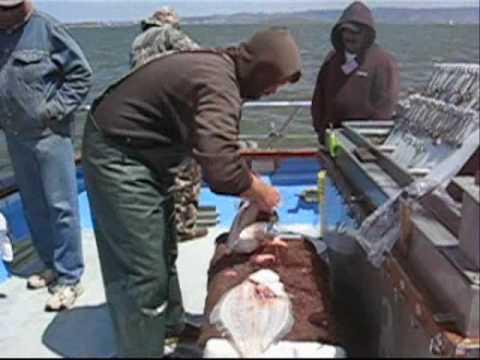New huck finn halibut striper fishing in san francisco for Sf bay halibut fishing