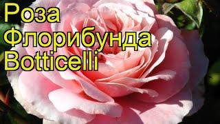 Роза флорибунда Ботичелли. Краткий обзор, описание характеристик, где купить саженцы