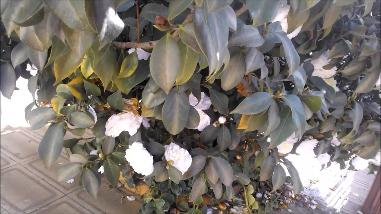 Cam lia jap nica l youtube for Camelia japonica in vaso