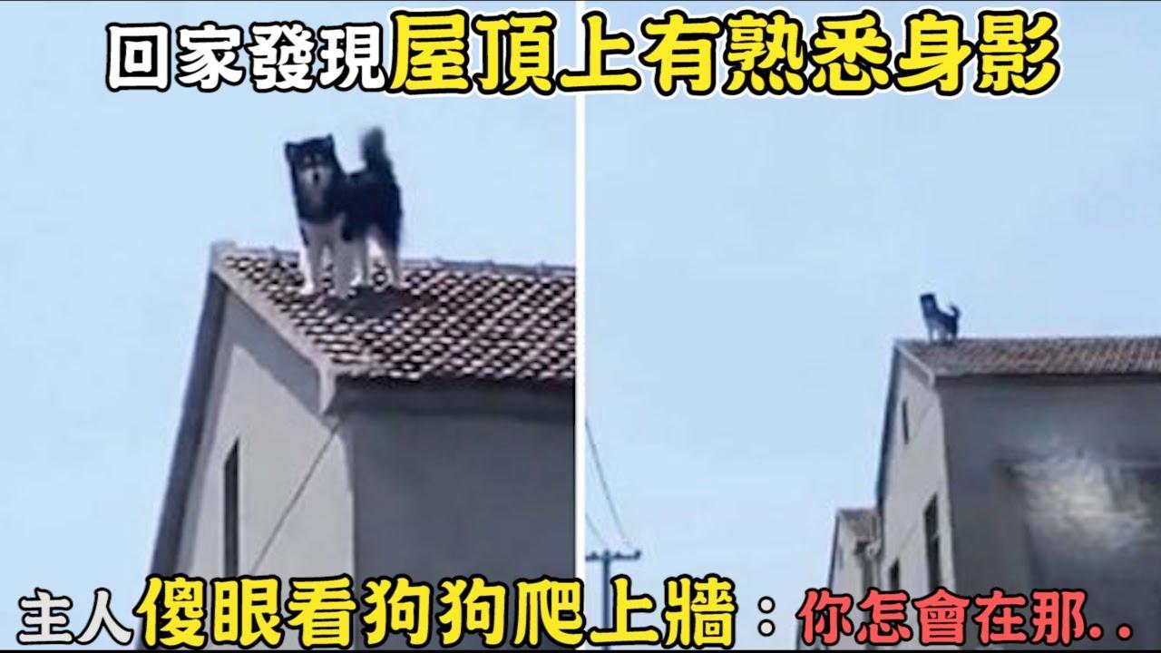 回家發現「屋頂上有熟悉身影」主人傻眼看狗狗爬上牆:你怎會在那...