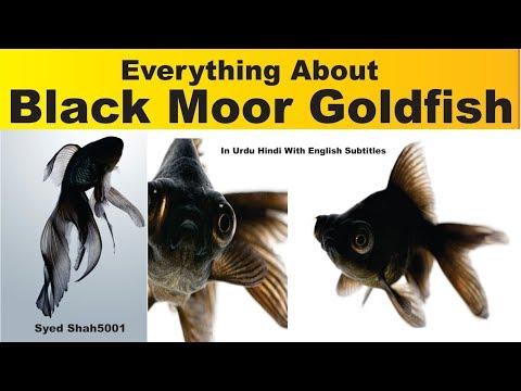 Black Moor Goldfish All About Black Moore Goldfish Fish Hindi Urdu English Sub