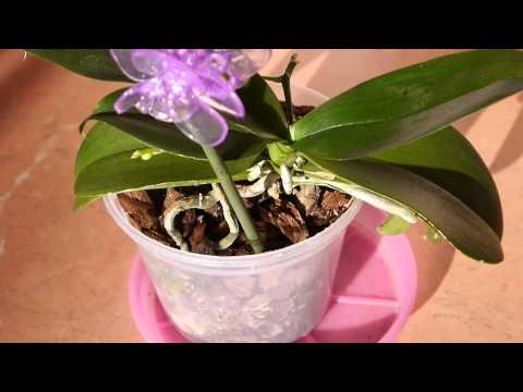 Воздушные корни орхидеи фаленопсис