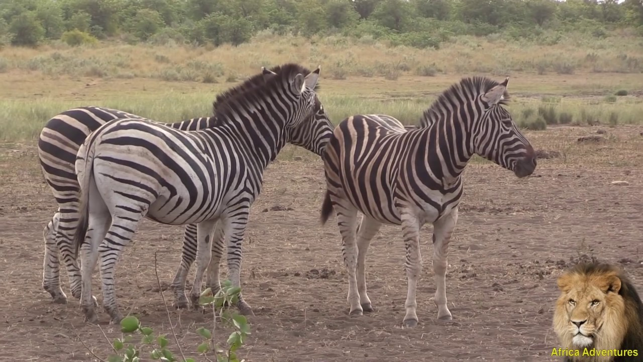 Zebras mating - photo#32