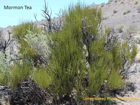 Native Medicinal Plants of Washoe County, Nevada | Washoe