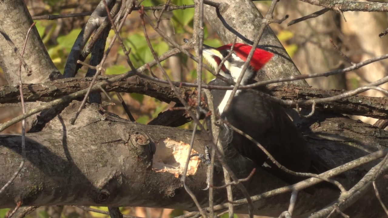 Pileated Woodpecker Call