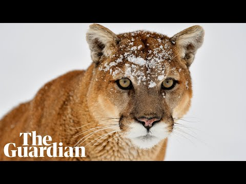 'Extremely rare and unfortunate event': Washington police on fatal cougar attack