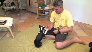 Training Boston Terrier Koa At 16 Weeks