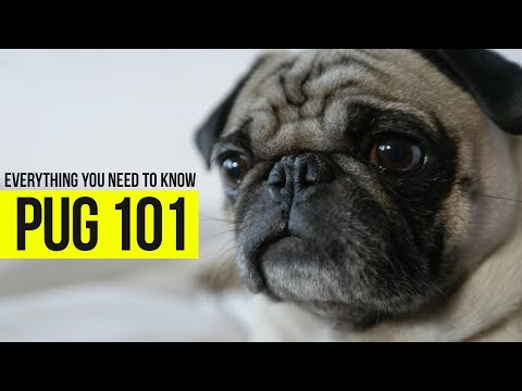 What you need to know about Pugs? Check out this video and see.