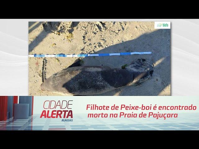 Filhote de Peixe-boi é encontrado morto na Praia de Pajuçara