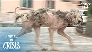 A Stray Dog Who Became Ragged Is Still Looking For The Owner | Animal in Crisis EP126