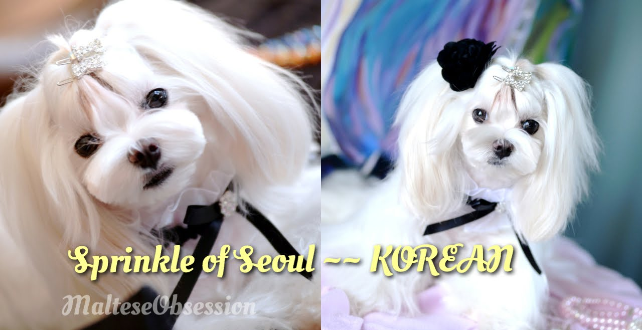 Grooming Korean Spicy Seoul For Cosette Korean Style Cut Groom