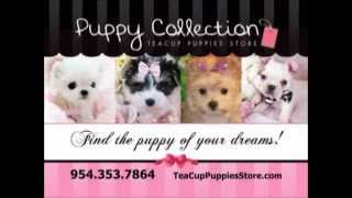 Teacup Puppies For Sale See Our Puppy Collection For Sale Teacup Puppies Store