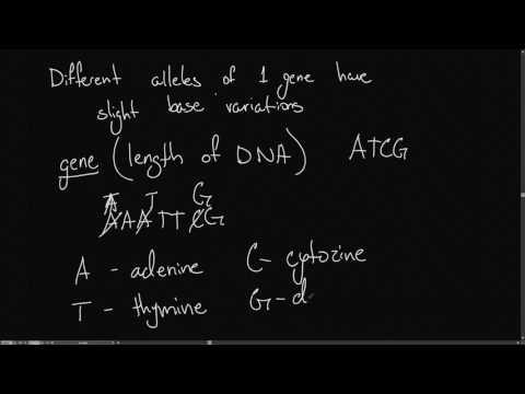 IB Biology 3.1 Genes .4 - Single Nucleotide Polymorphisms