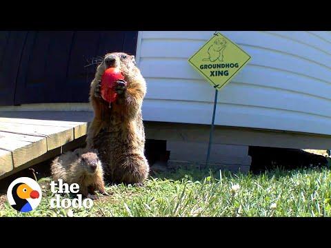 Guy Builds Veggie Garden For Family Of Groundhogs | The Dodo