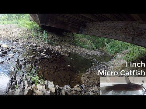 Microfishing A Tiny Creek For Micro Catfish