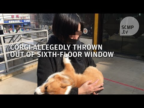 Animal Abuse: Corgi Is Allegedly Thrown From Sixth-floor Window In China