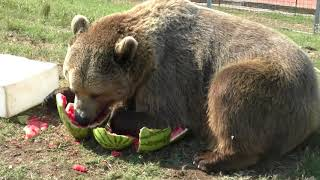 Grizzly Bear Devours Watermelon at Refuge