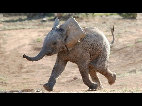 Funny and Cute Baby Elephant Videos  2016