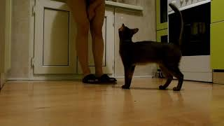 Абиссинская кошка дрессировка.Выполнение команд