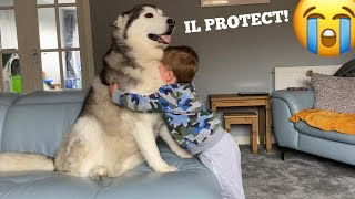 Husky Protects Baby From Dad!! [CUTEST VIDEO EVER!!!]