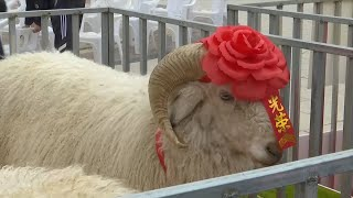 Sheep Beauty Contest held in
