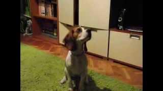 Szofi Beagle Kutya: Pápá