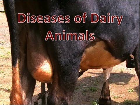 Diseases of Dairy Animals