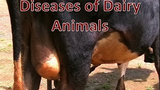 Diseases of Dairy Animals