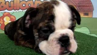 English Bulldogs For Sale Www.bullcanes.net