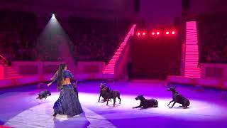 Дрессированные собаки, доберманы   Circus Dogs Dobermans
