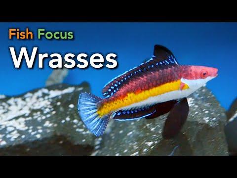 Fish Focus - Wrasses